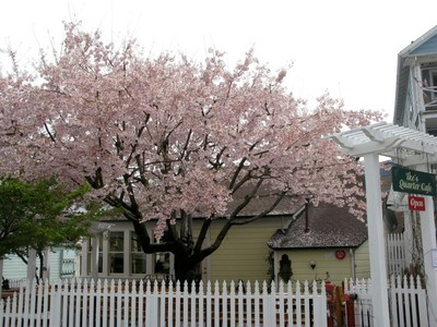 Flowering Cherry- photo credit Amigo Cantisano