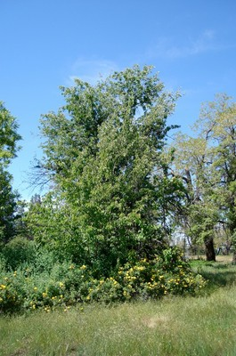 Guigne Marbree Cherry Tree- Photo credit Amigo Cantisano