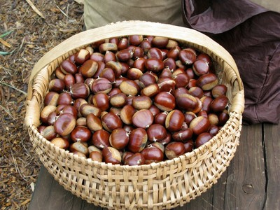 Chestnut harvest- photo credit Amigo Cantisano