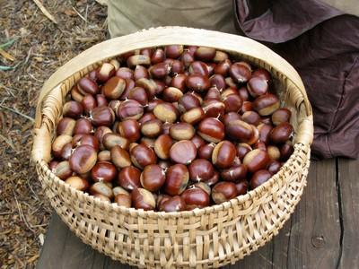 Chestnut harvest- photo credit Amigo Cantisano