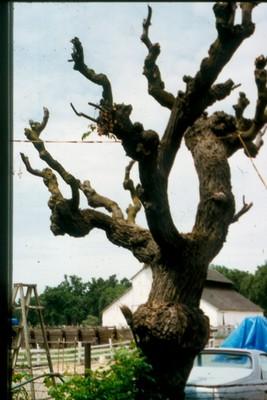Seedless yellow grape vine-photo credit Amigo Cantisano