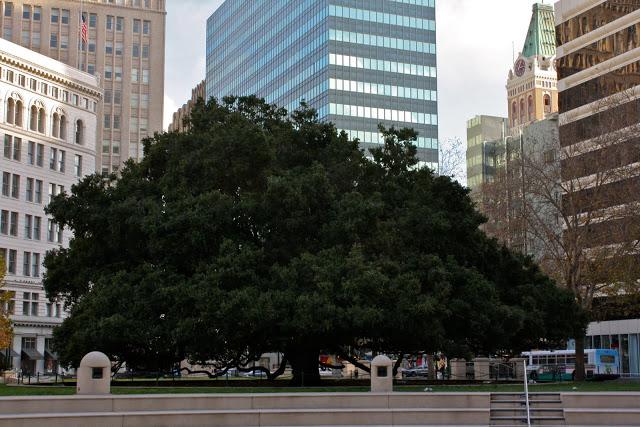Oak tree in downtown Oakland, California