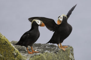 The Pribilof Islands are known for their incredible biodiversity, including the charismatic tufted puffin!
