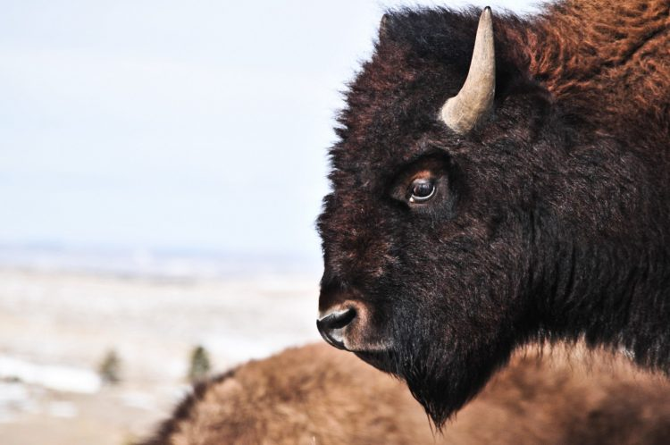 The Meaning of the Buffalo to Our People