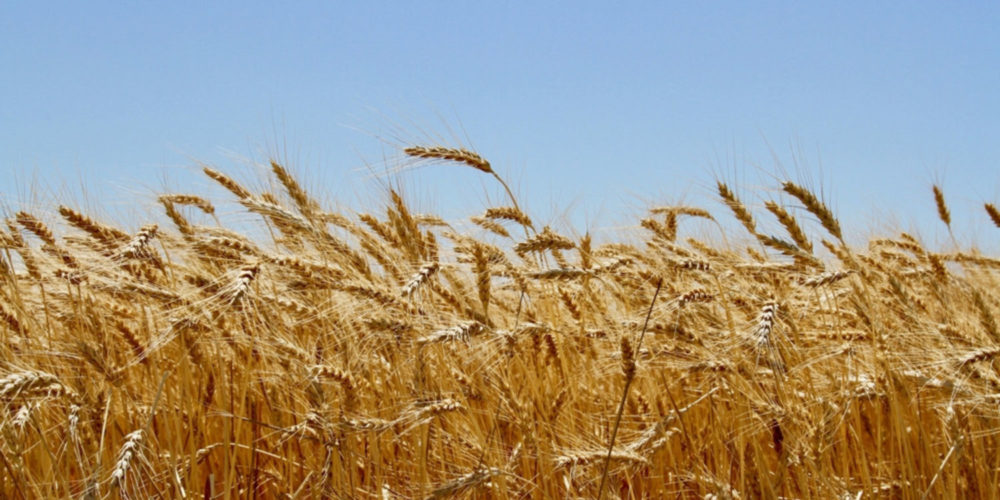 How Seeds from War-Torn Syria Could Help Save American Wheat